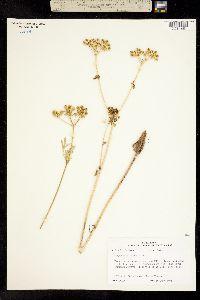 Image of Eurytaenia texana