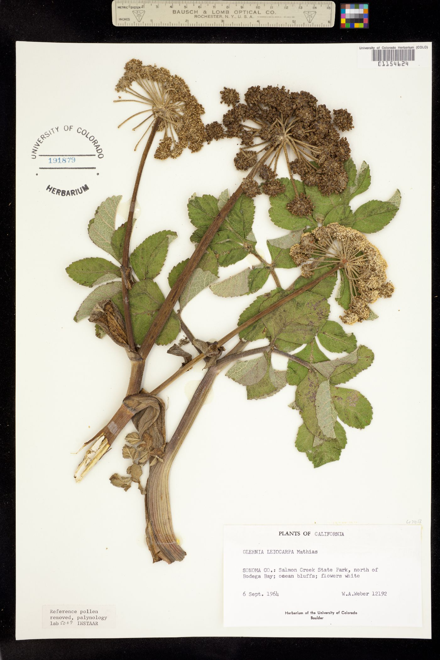 Glehnia leiocarpa image