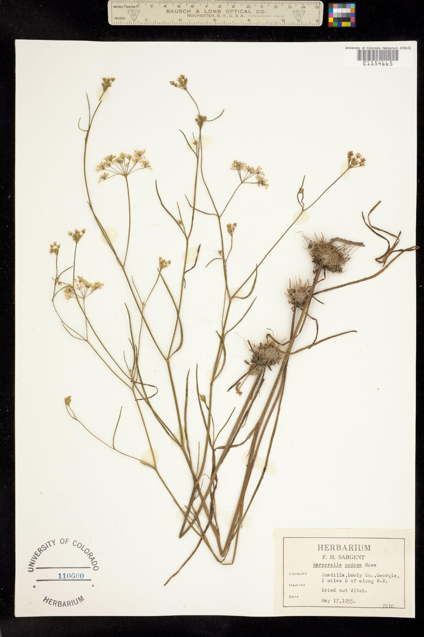 Ptilimnium nodosum image