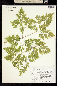 Image of Ligusticum apiifolium