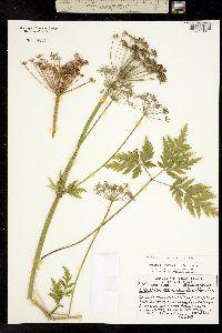 Ligusticum canbyi image