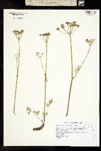 Image of Ligusticum grayi