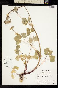 Image of Ligusticum scoticum