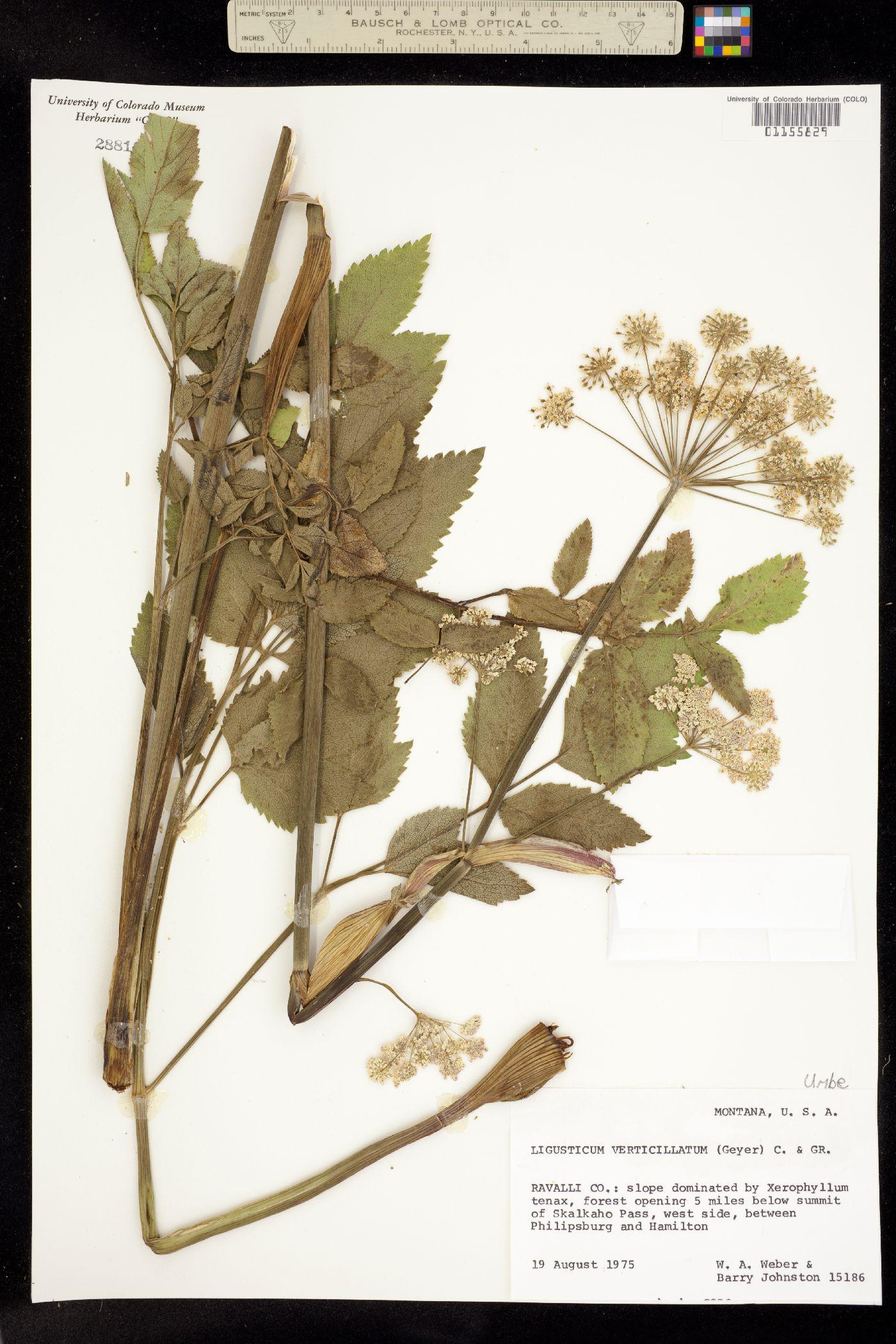 Ligusticum verticillatum image