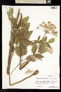 Image of Ligusticum verticillatum