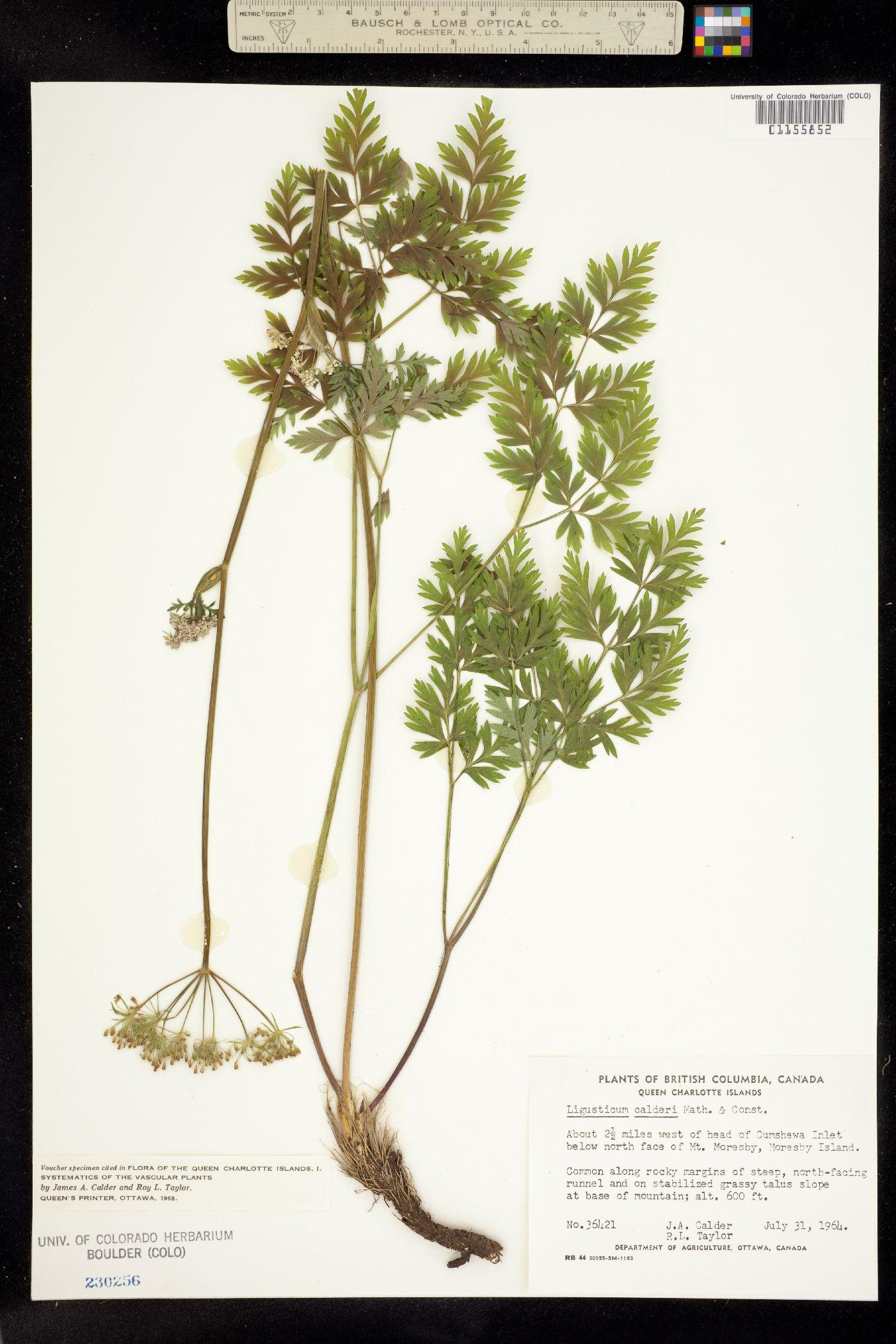 Ligusticum calderi image