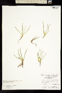 Lilaeopsis occidentalis image