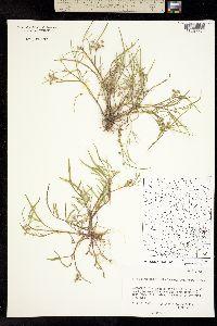 Image of Limnosciadium pumilum