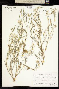 Limnosciadium pumilum image