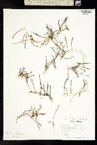 Image of Lilaeopsis chinensis