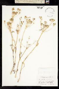 Lomatium ambiguum image