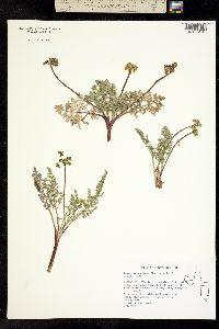Image of Lomatium austiniae