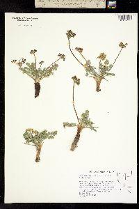 Lomatium austiniae image