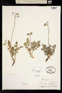 Image of Lomatium martindalei