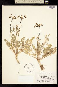 Lomatium martindalei image