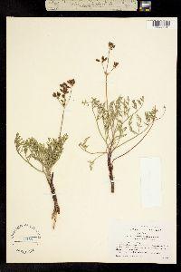 Image of Lomatium ciliolatum
