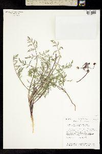 Lomatium ciliolatum image