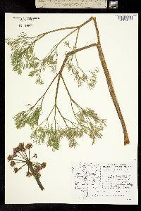 Lomatium columbianum image