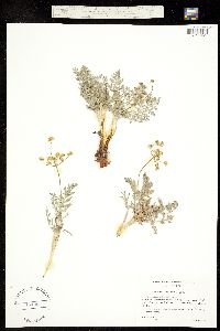 Lomatium congdonii image