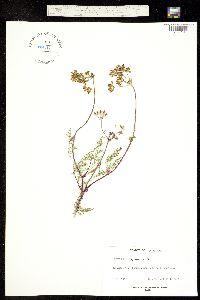 Image of Lomatium congdonii