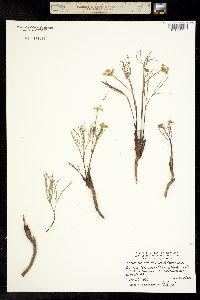 Lomatium cusickii image