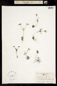 Lomatium gormanii image