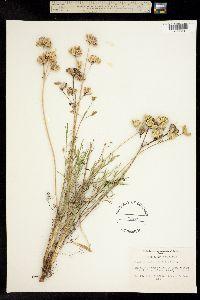 Image of Lomatium humile