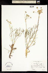 Lomatium humile image