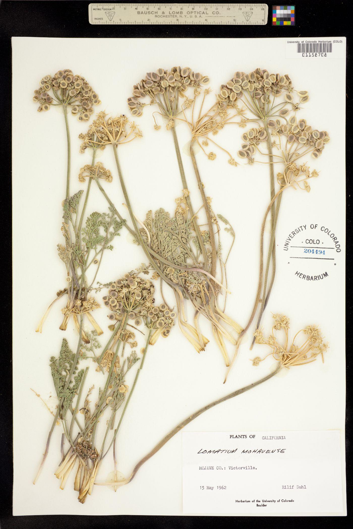 Lomatium mohavense image