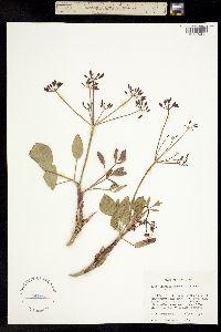 Image of Lomatium nudicaule