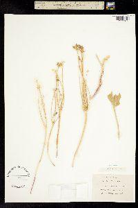 Lomatium nudicaule image