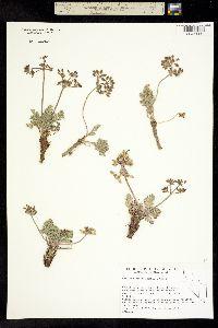Lomatium ravenii image