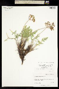 Image of Lomatium scabrum