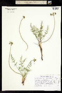 Lomatium scabrum image