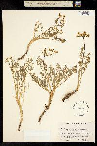 Lomatium serpentinum image