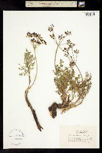Image of Lomatium serpentinum