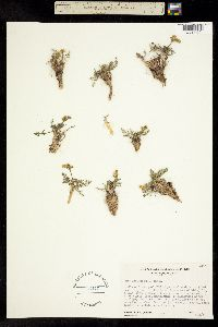 Lomatium torreyi image