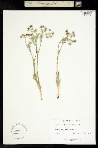Lomatium tomentosum image