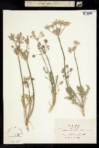 Image of Lomatium tomentosum