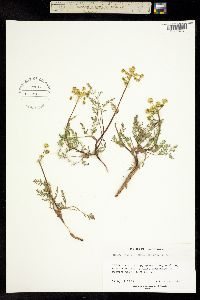 Image of Lomatium utriculatum