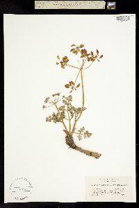 Image of Lomatium cuspidatum