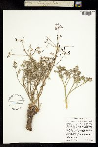 Lomatium cuspidatum image