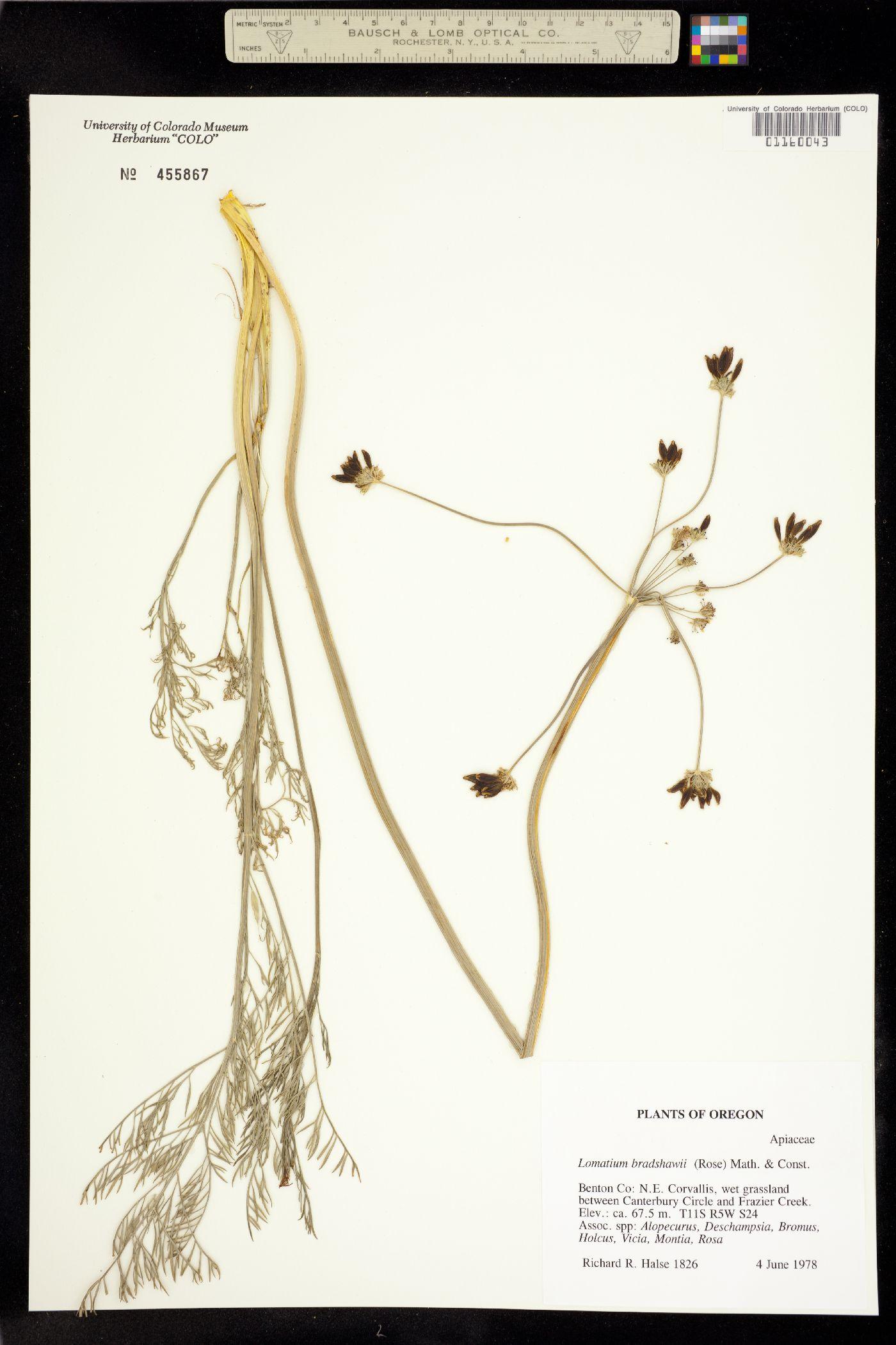 Lomatium bradshawii image