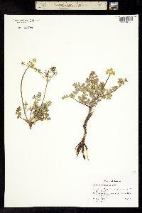 Image of Lomatium attenuatum
