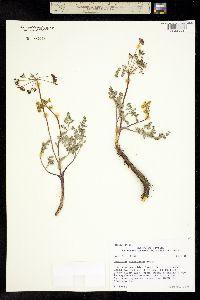 Lomatium attenuatum image
