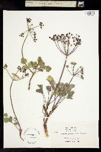 Lomatium lucidum image