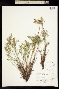 Image of Lomatium laevigatum