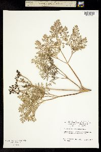 Image of Lomatium insulare