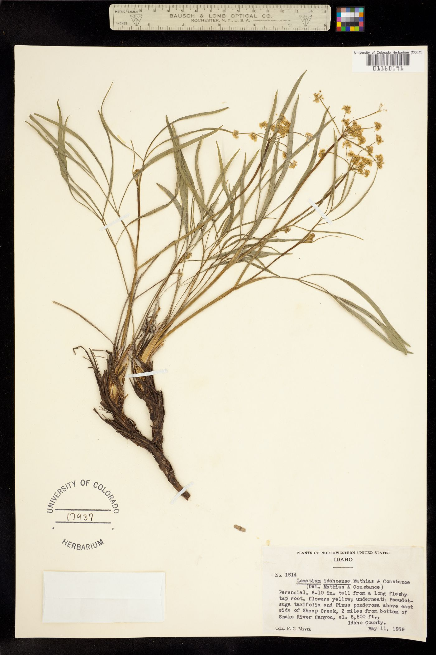 Lomatium idahoense image