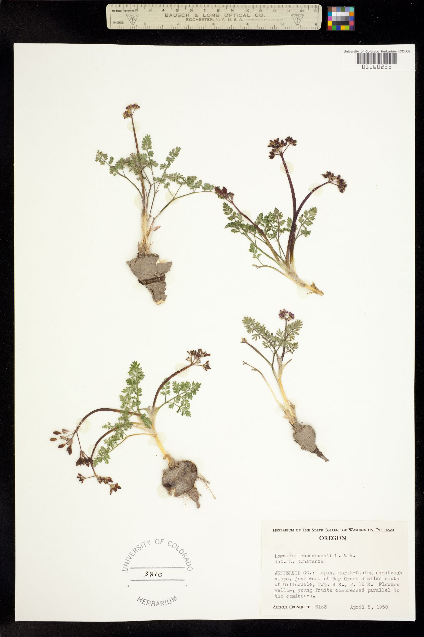 Lomatium hendersonii image